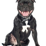 All About Staffordshire Bull Terrier