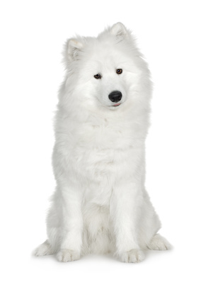 Young Samoyed
