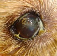 Dog Sticky Eye Discharge