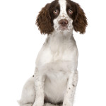 All About English Springer Spaniel