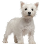 All About West Highland White Terrier