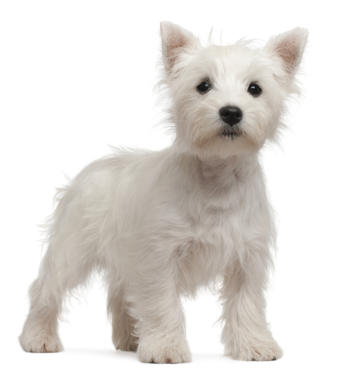 West Highland Terrier Dog Signs