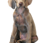 Information All About Weimaraner