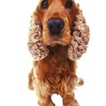 All About Cocker Spaniel