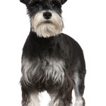 All About Miniature Schnauzers