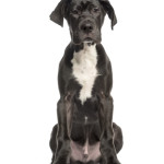All About Great Dane