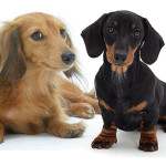All About Dachshund