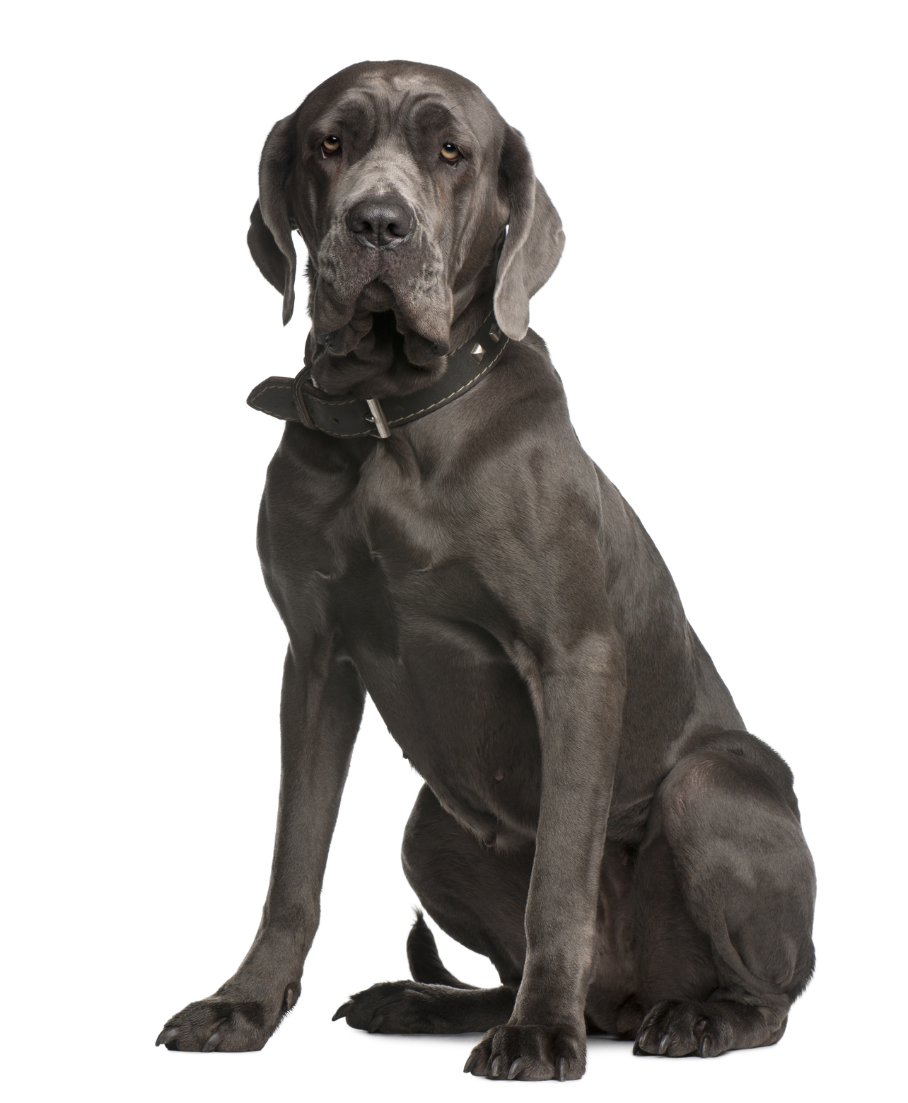 Neapolitan Mastiff Dog Signs