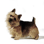 All About Norwich Terriers