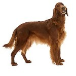 All About Irish Red and White Setter