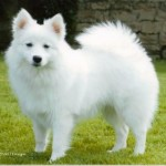 All About Japanese Spitz