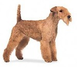 All About Lakeland Terrier