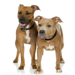 All About American Staffordshire Bull Terrier