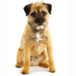 All About Border Terrier