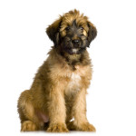 All About Briard