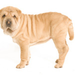 All About Chinese Shar Pei