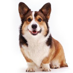 All About Cardigan Welsh Corgi