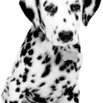 All About Dalmatian