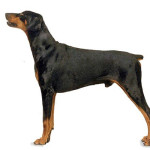 All About Doberman Pinscher