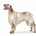All About English Setter