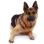 All About German Shepherd