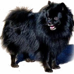 All About German Spitz