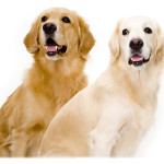 All About Golden Retriever