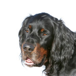 All About Gordon Setter
