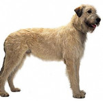 All About Irish Wolfhound