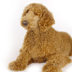 All About Labradoodle
