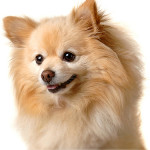 All About Pomeranian