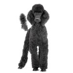 All About Standard Poodles