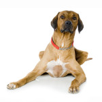 All About Rhodesian Ridgebacks