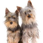 All About Silky Terrier