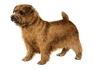 norfolk_terrier