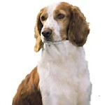 All About Welsh Springer Spaniel