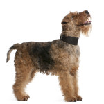 All About Welsh Terrier